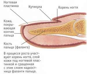 Строение и главные функции ногтей