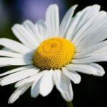 Государственные цветы