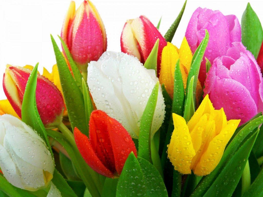 «Тюльпан, равный розе…»